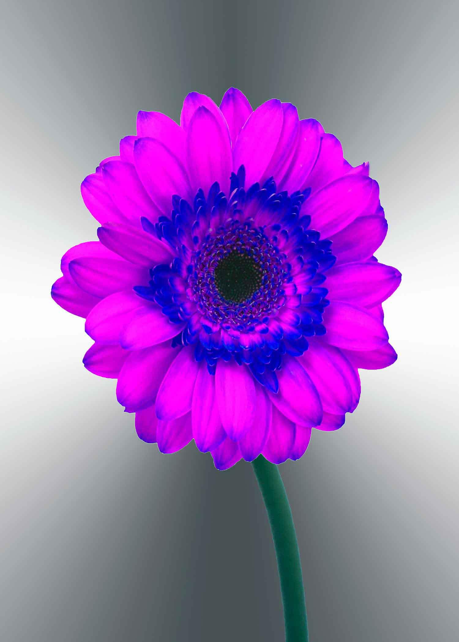 purple-gerger-daisy-5x7-(22-of-236)-Edit-2-copy-2.jpg