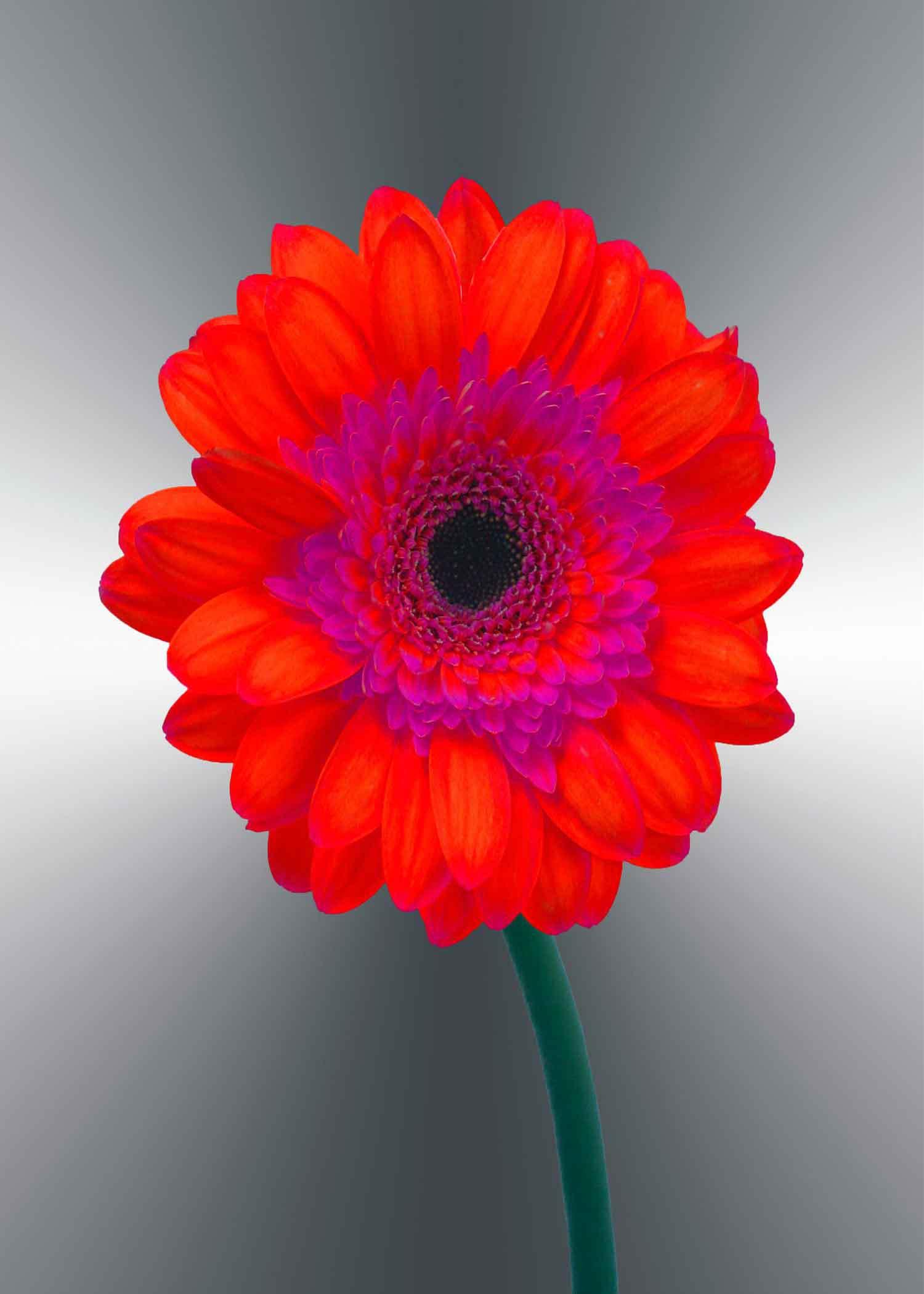 red-gerger-daisy-5x7-(22-of-236)-Edit-2-copy-6.jpg