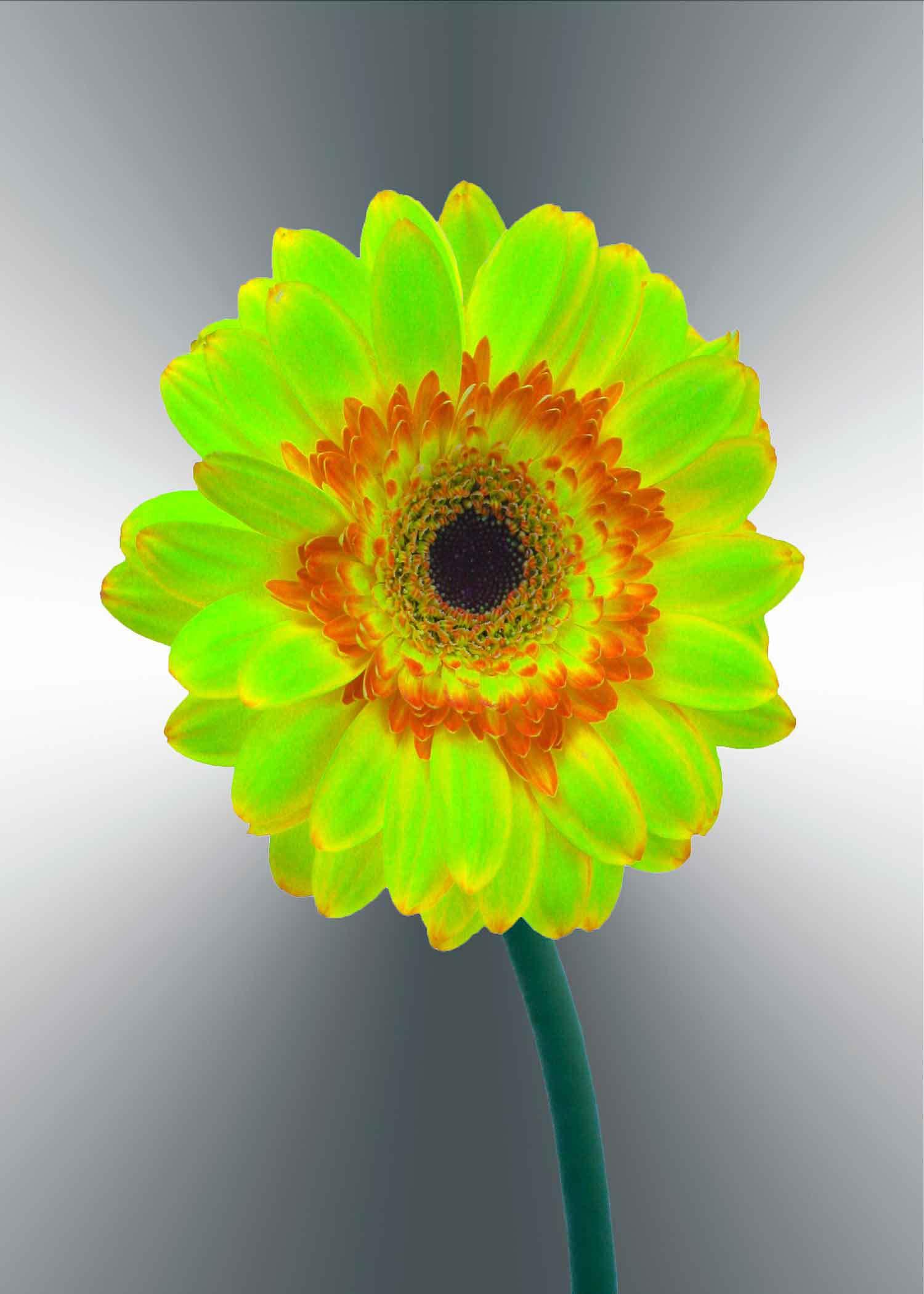 green-gerger-daisy-5x7-(22-of-236)-Edit-2-copy-2.jpg