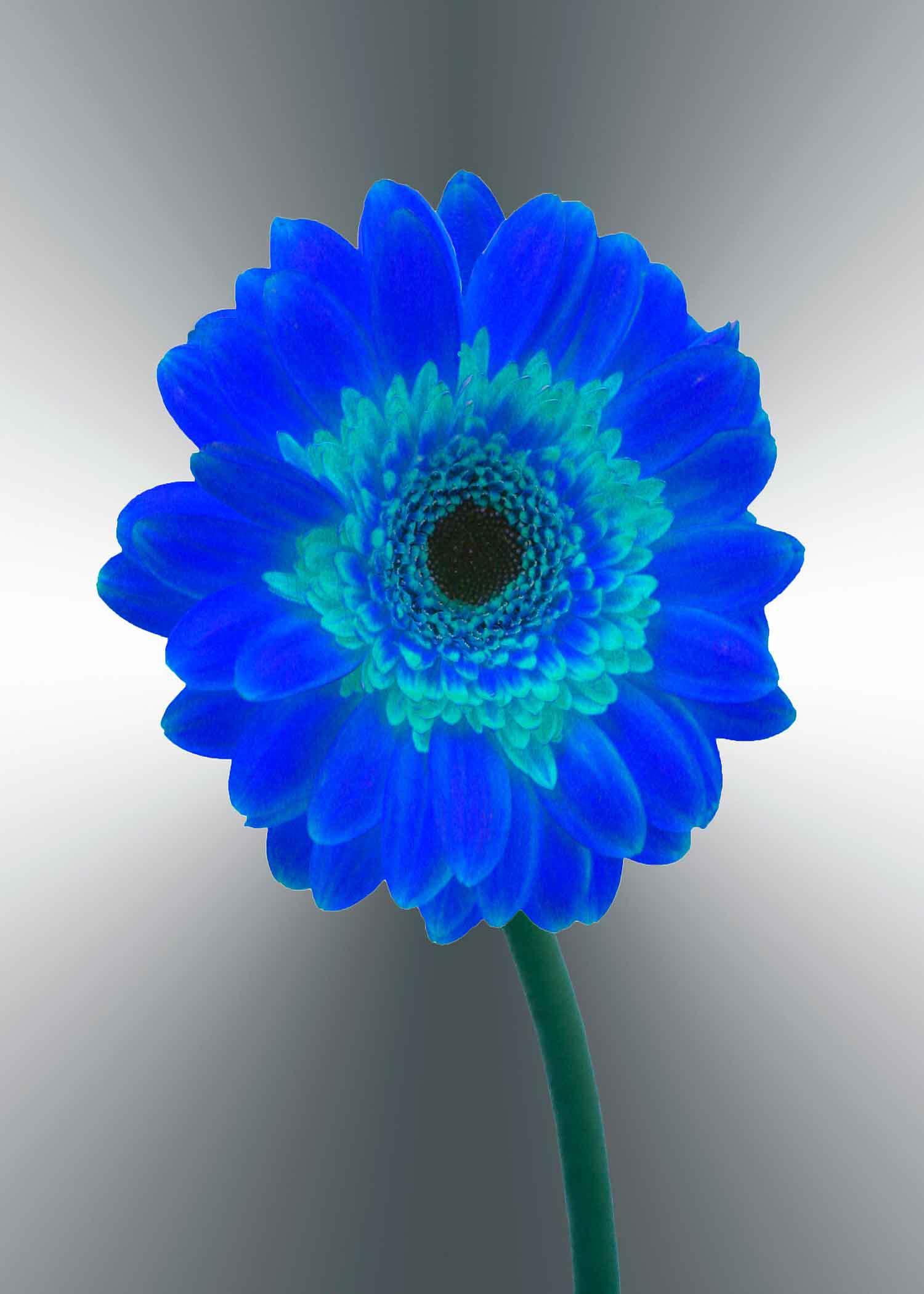 blue-gerger-daisy-5x7-(22-of-236)-Edit-2-copy-2.jpg