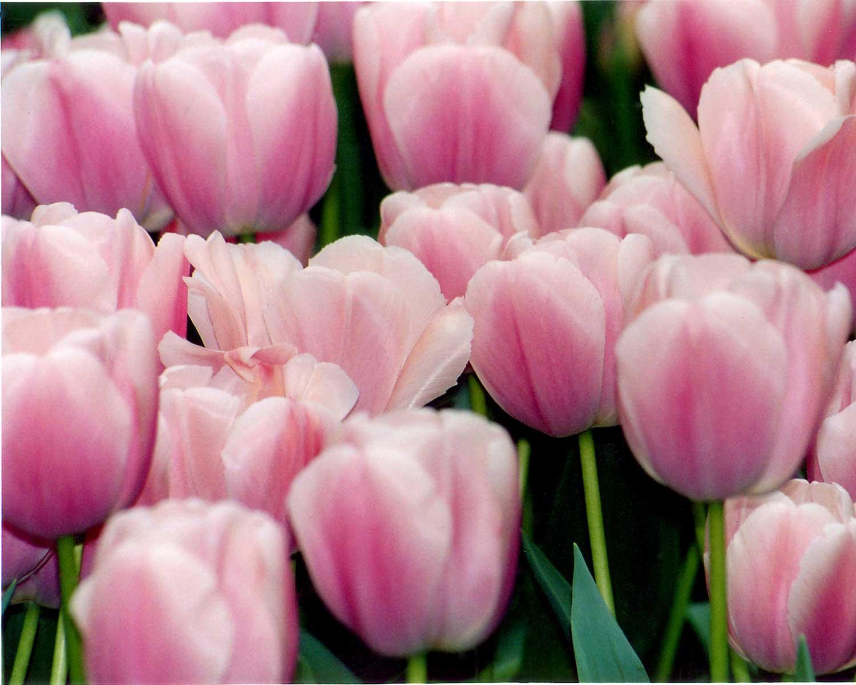 PinkTulipWatercolor.jpg