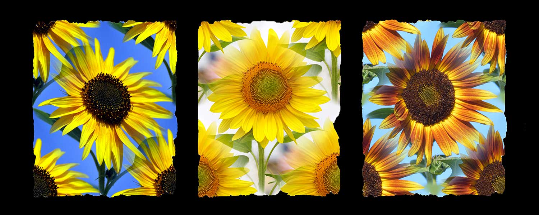 3Sunflowers.jpg