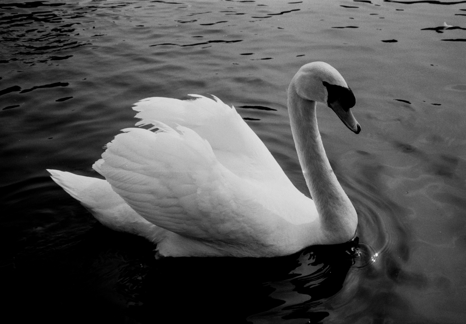 Photographing Swans With Fomapan 100