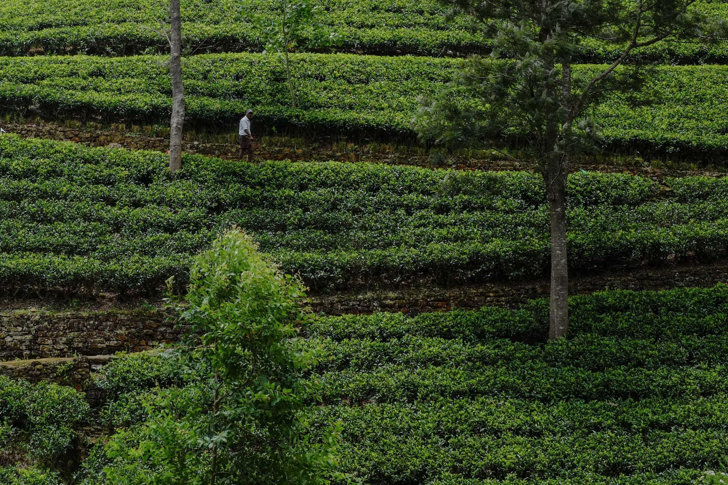 Sri Lankan tea (often called Ceylon tea) makes up roughly 50% of world tea exports.