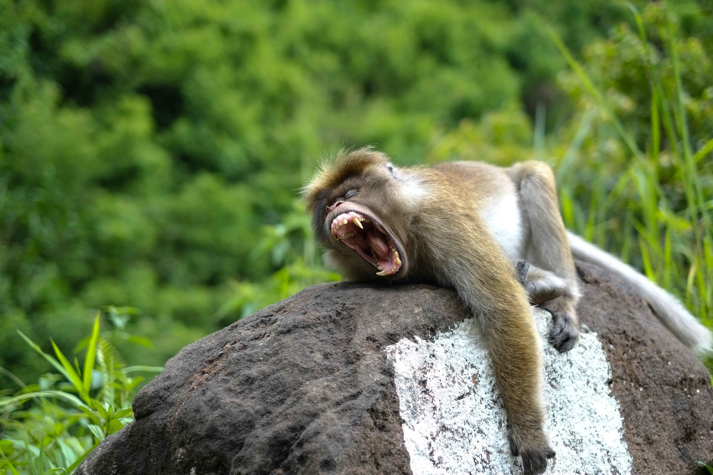 Nap time for a monkey by the side of the road near Delhouse.