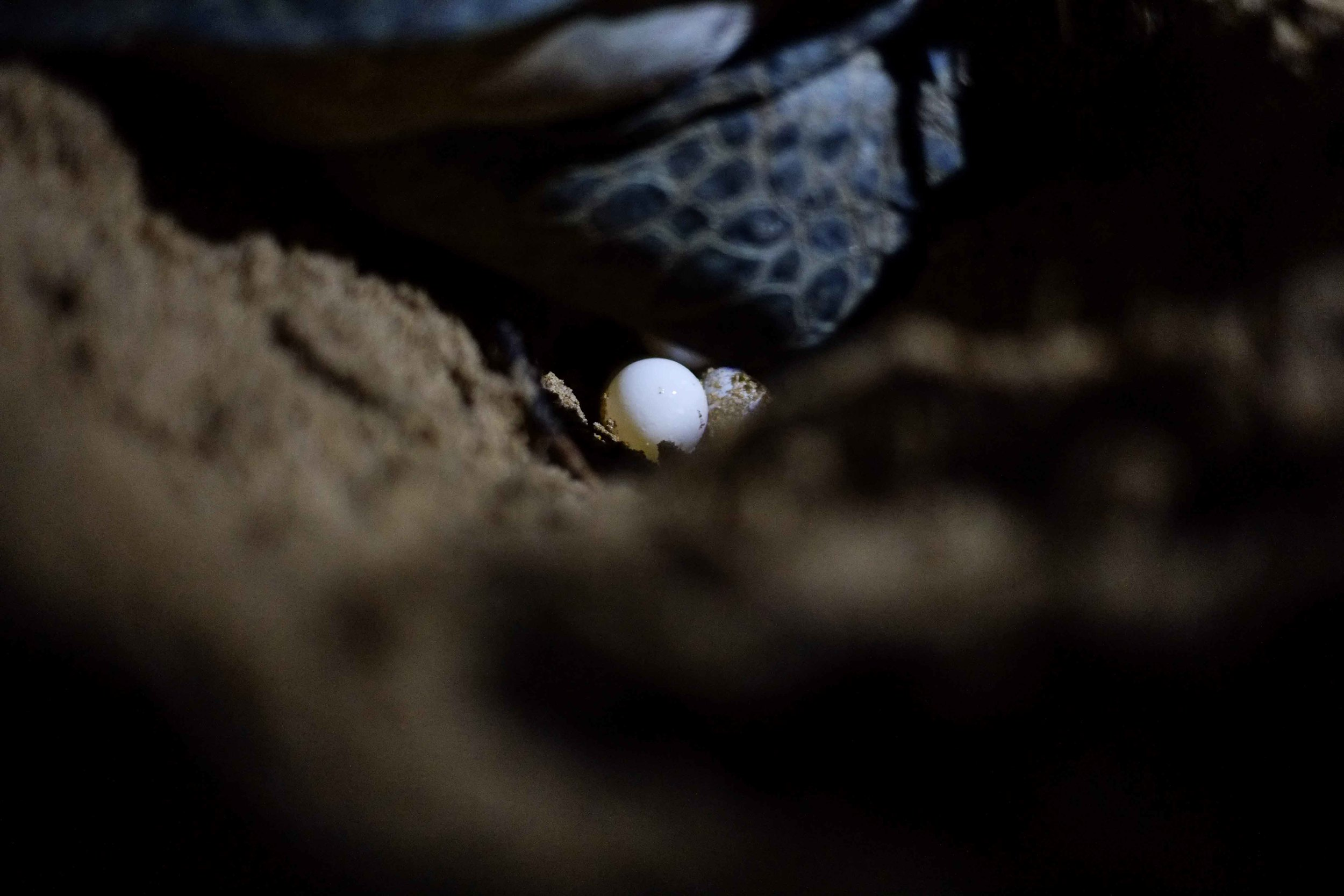 The turtles will lay their eggs, often 6 or 7 at a time, and then bury them and swim back into the water.
