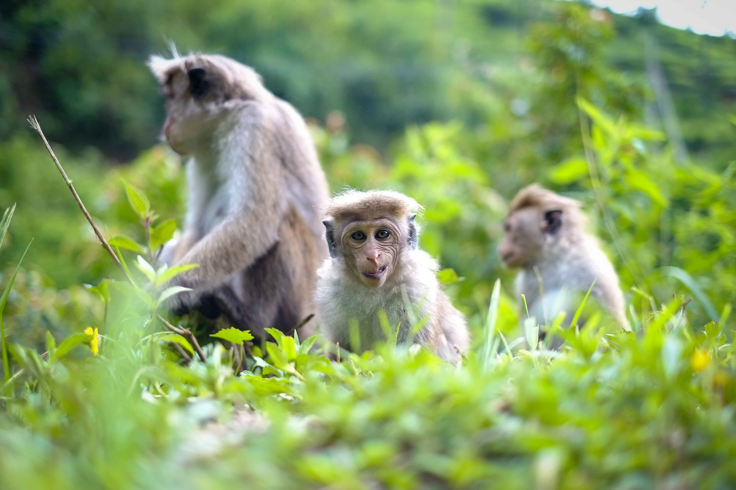 Monkeys: arguably the most hilarious of all animals in Sri Lanka.