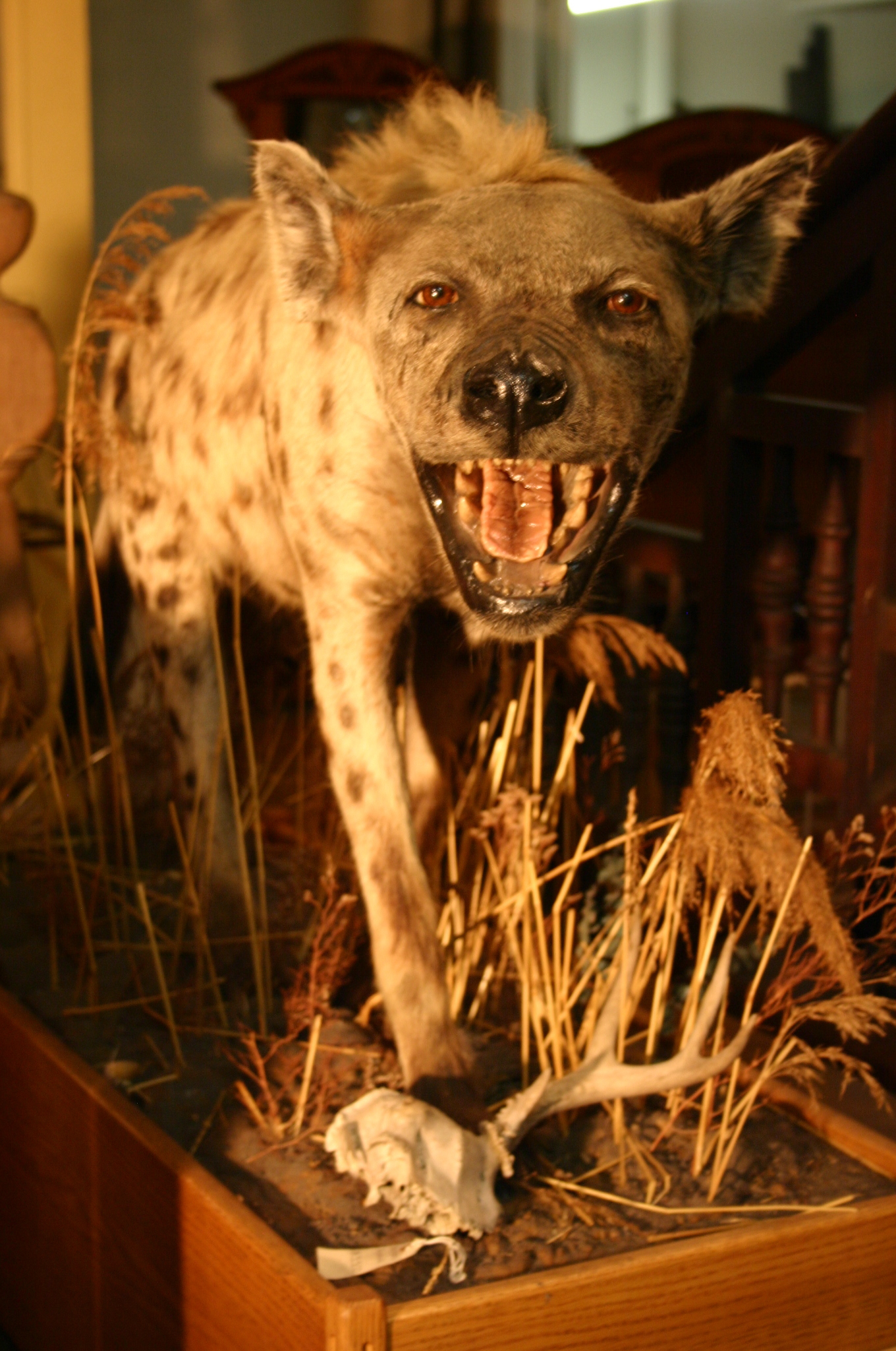 Vintage, Full Mount, Taxidermied Hyena