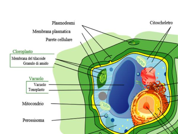Figura 1: cellula vegetale