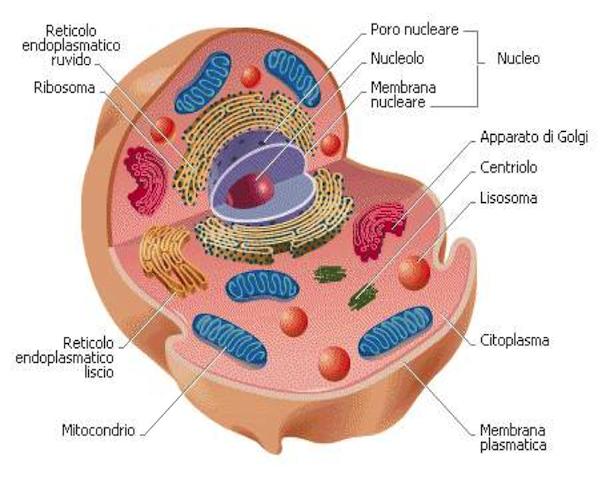 Figura 2: cellula animale