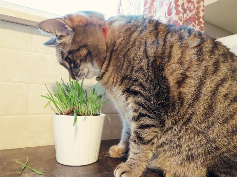lilly-cat-grass4.jpg