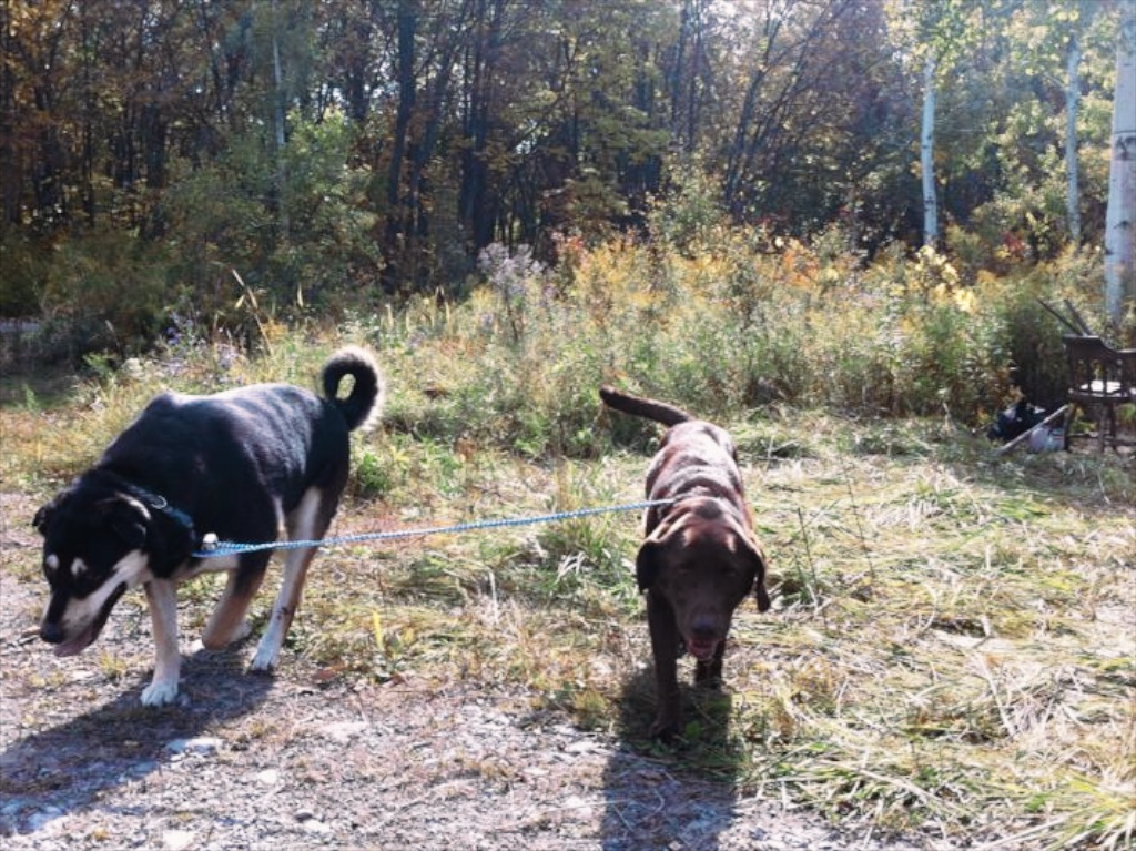 Hunter was my primary helper with Vega. He kept her engaged around me and the pack while I completed other tasks