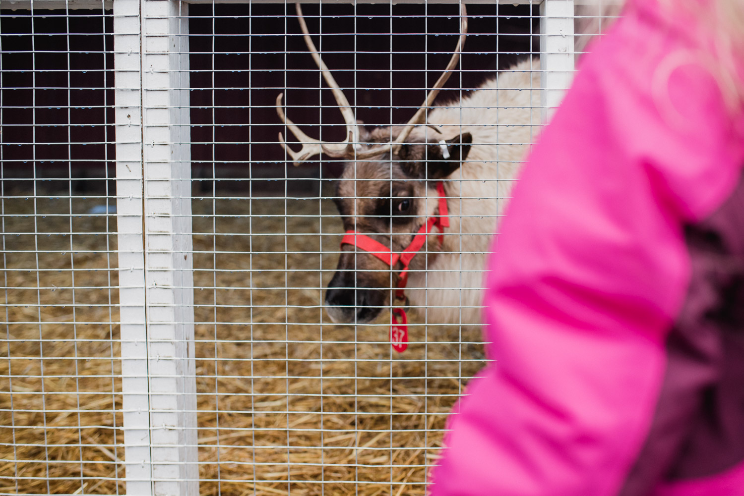 A reindeer peeks out from his pen at Hicks Nursery.