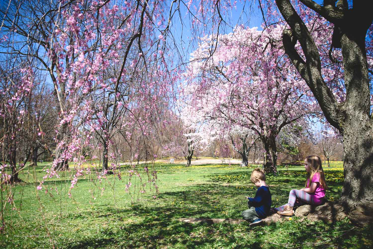 Kids sitting under cherry blossoms in Planting Fields.