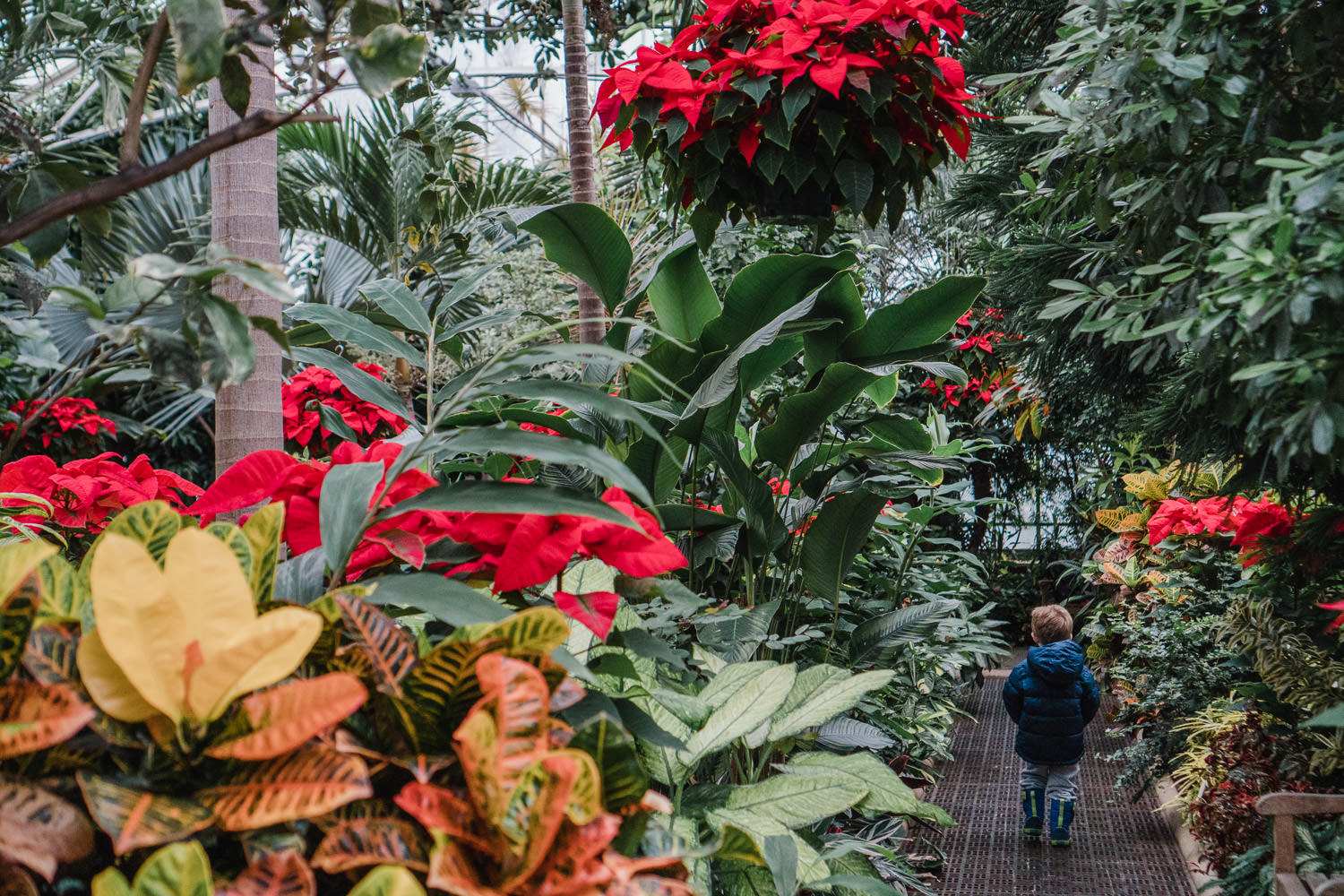 A little boy walks through the poinsettia display at Planting Fields.
