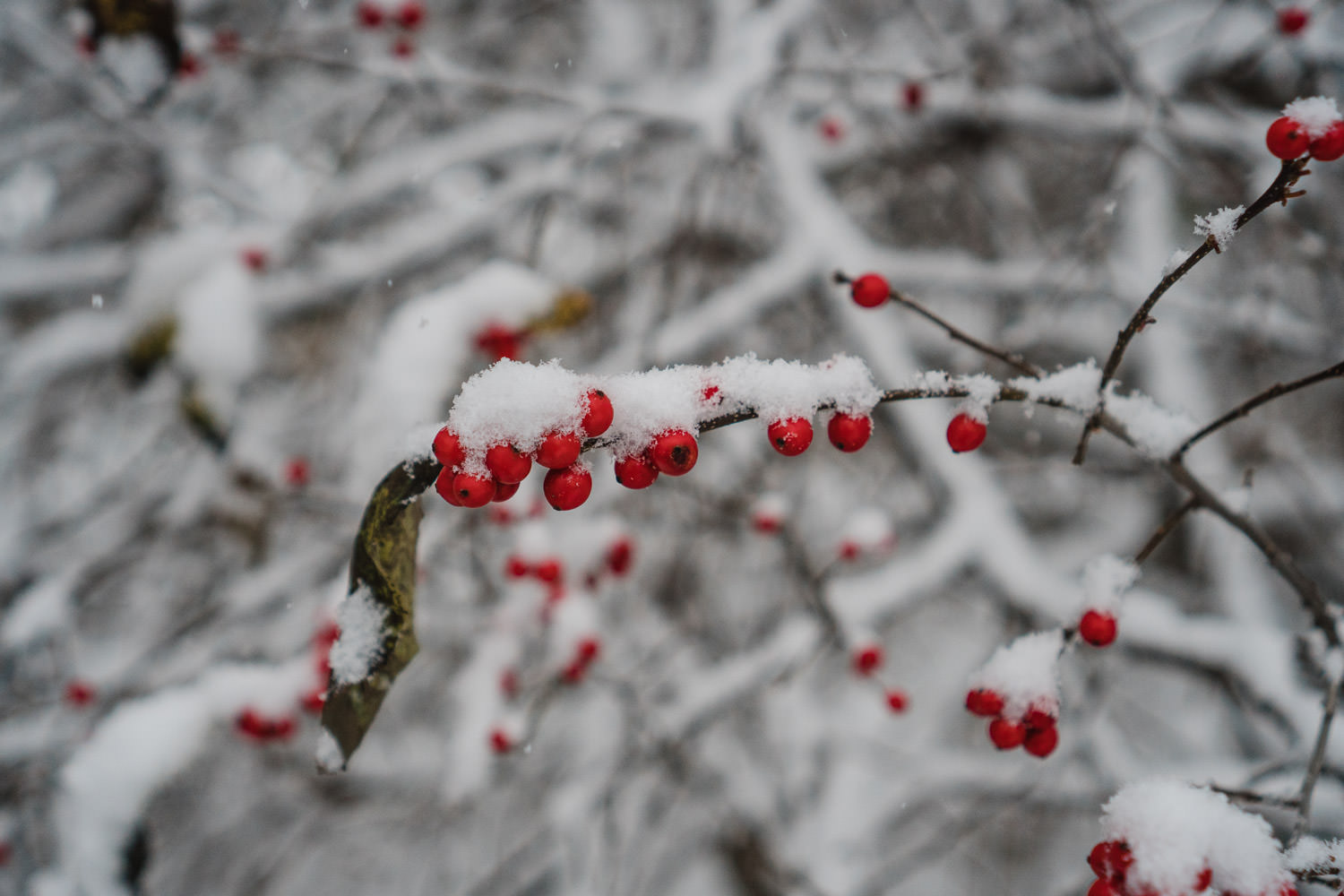 Red berries covered in snow.
