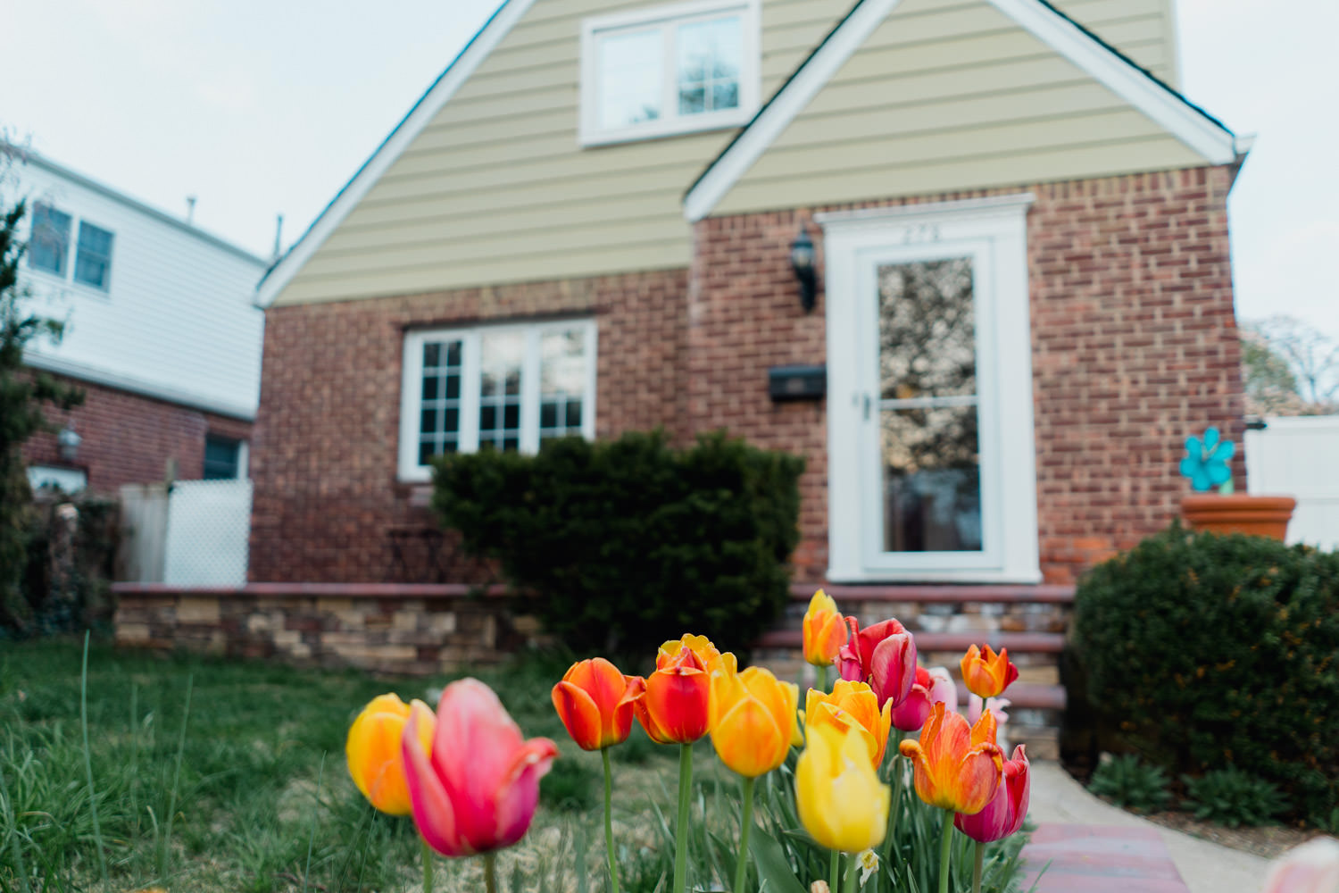 Tulips in a front yard on Long Island.