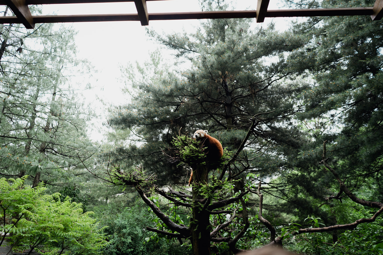 A red panda at the Central Park Zoo.