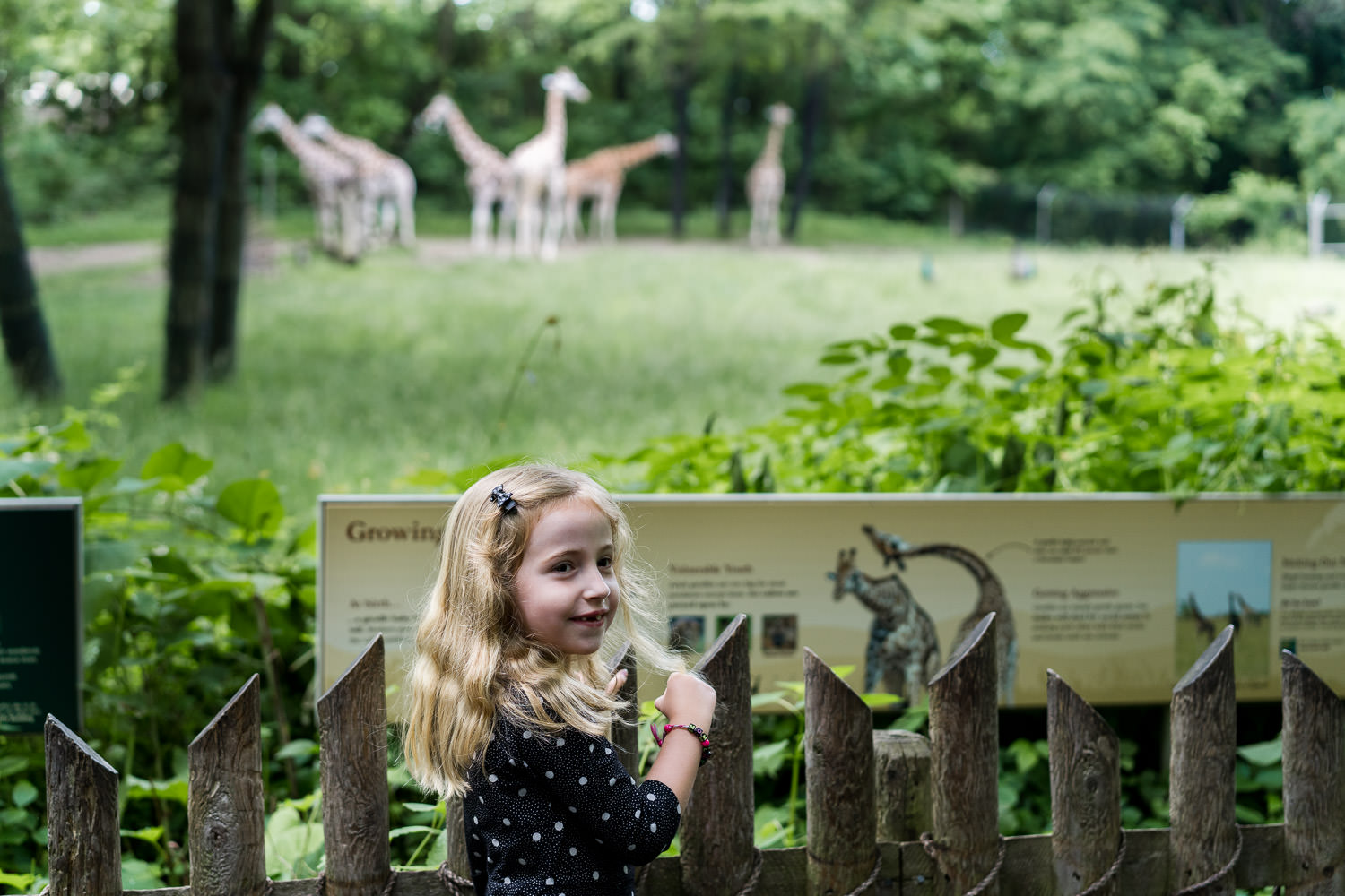 A little girl looks at the giraffes at the Bronx Zoo.