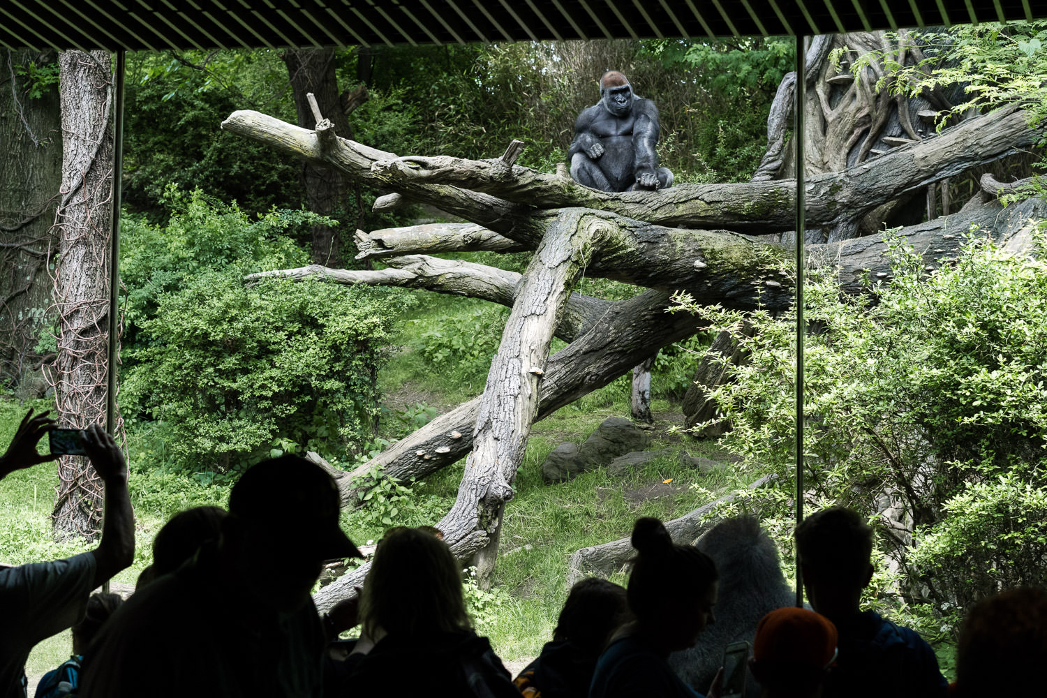 The gorilla viewing area at the Bronx Zoo.