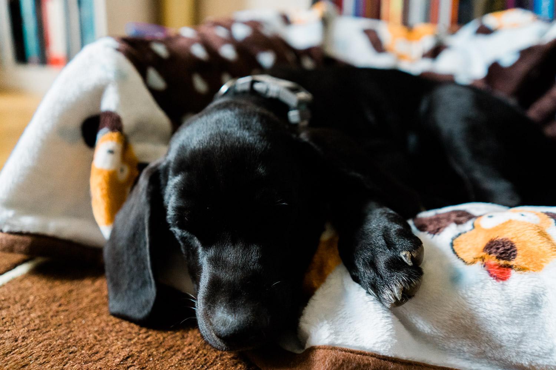 A black lab puppy takes a nap.