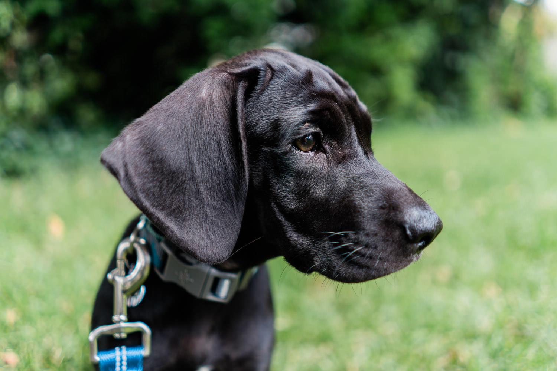 A portrait of a black lab puppy.