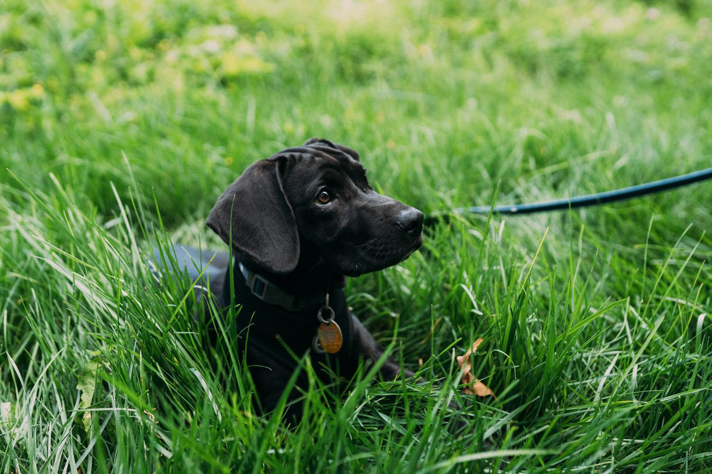 A black dog lies in the grass.