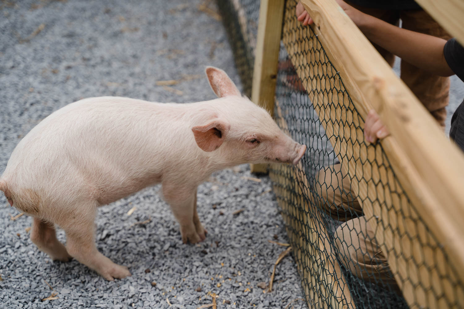 A baby pig at Hick's Nursery.