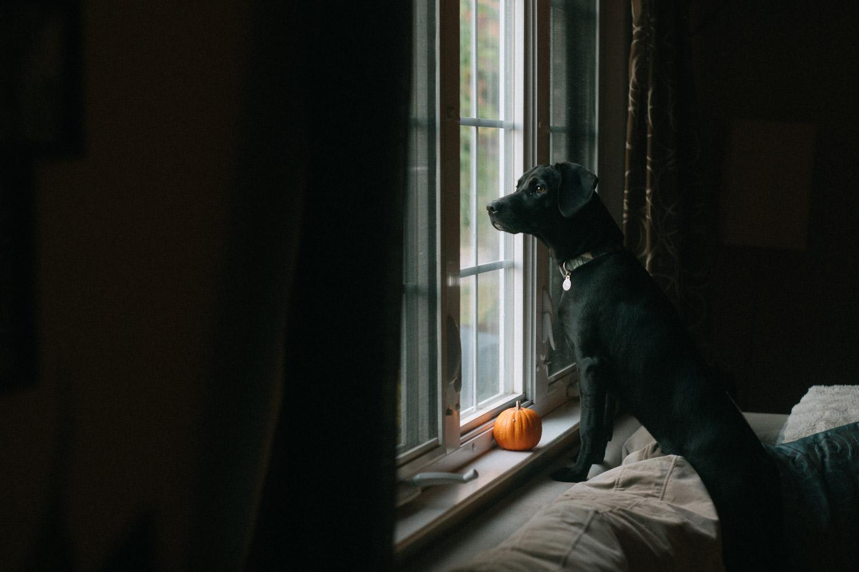 A black dog looks out a window.