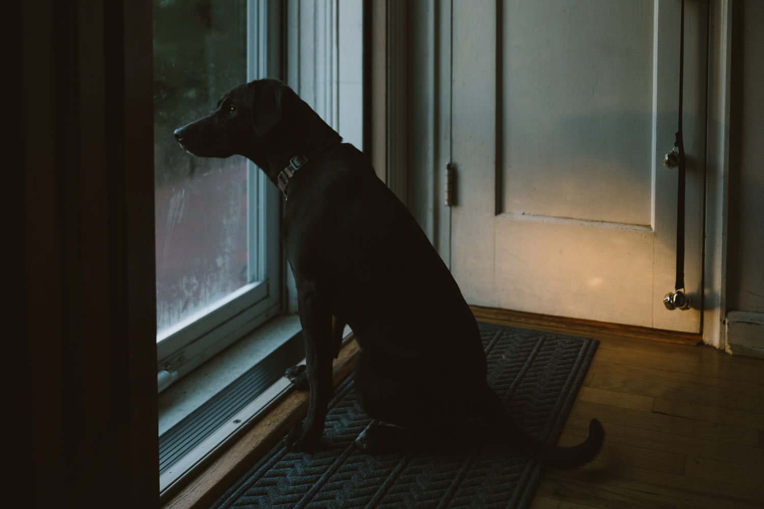 A dog looks out the front door.