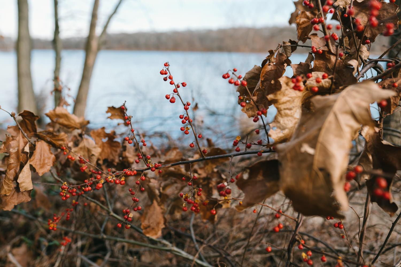 Red berries at Hempstead Lake.