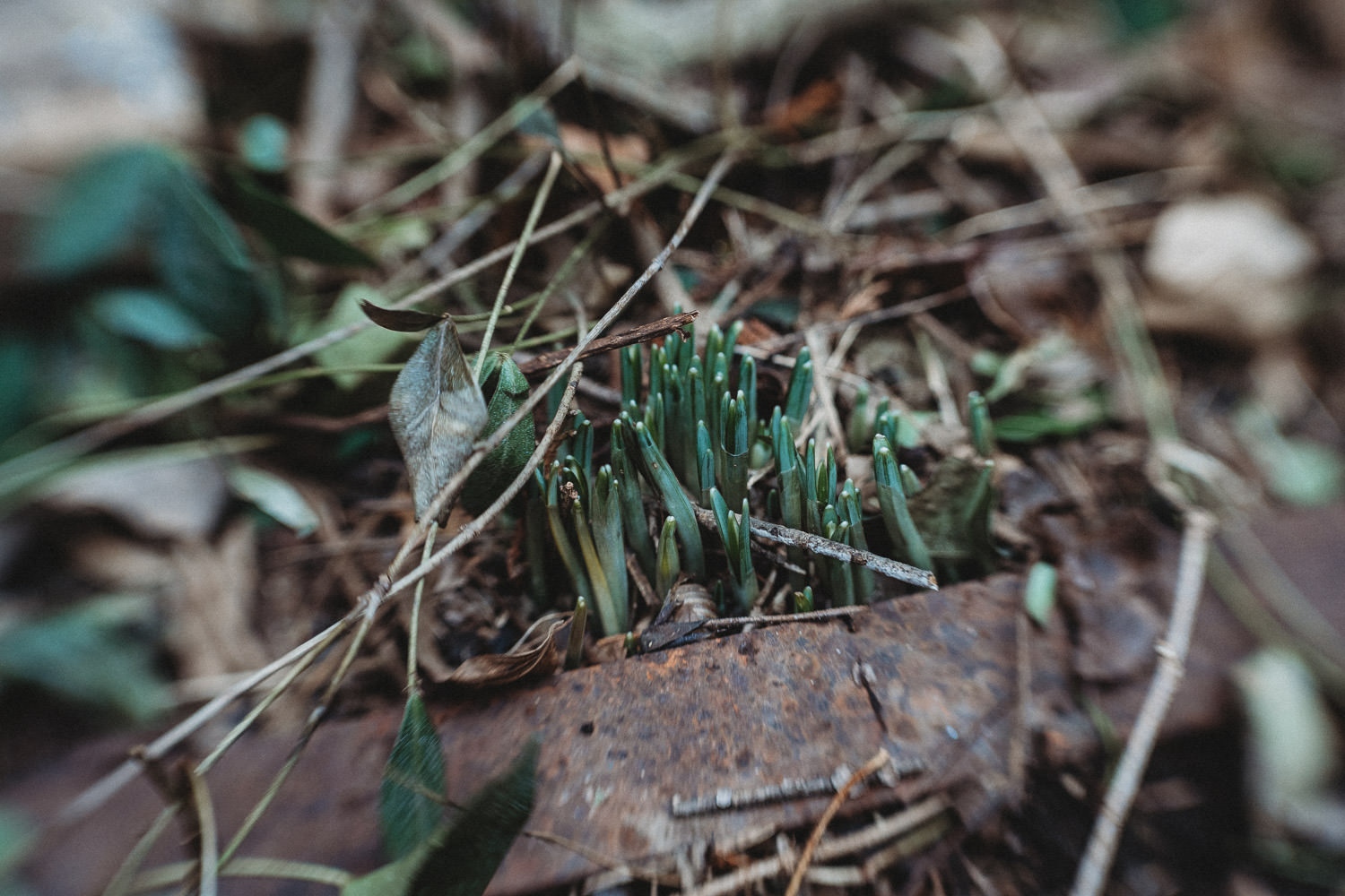 Snowdrops sprouting.