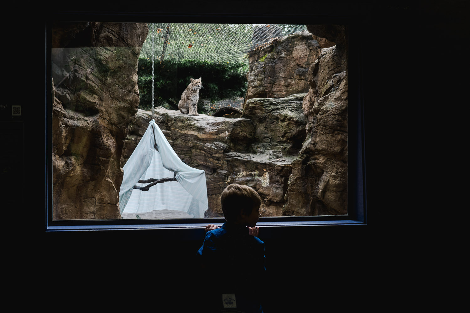 A little boy looks at a bobcat at the zoo.
