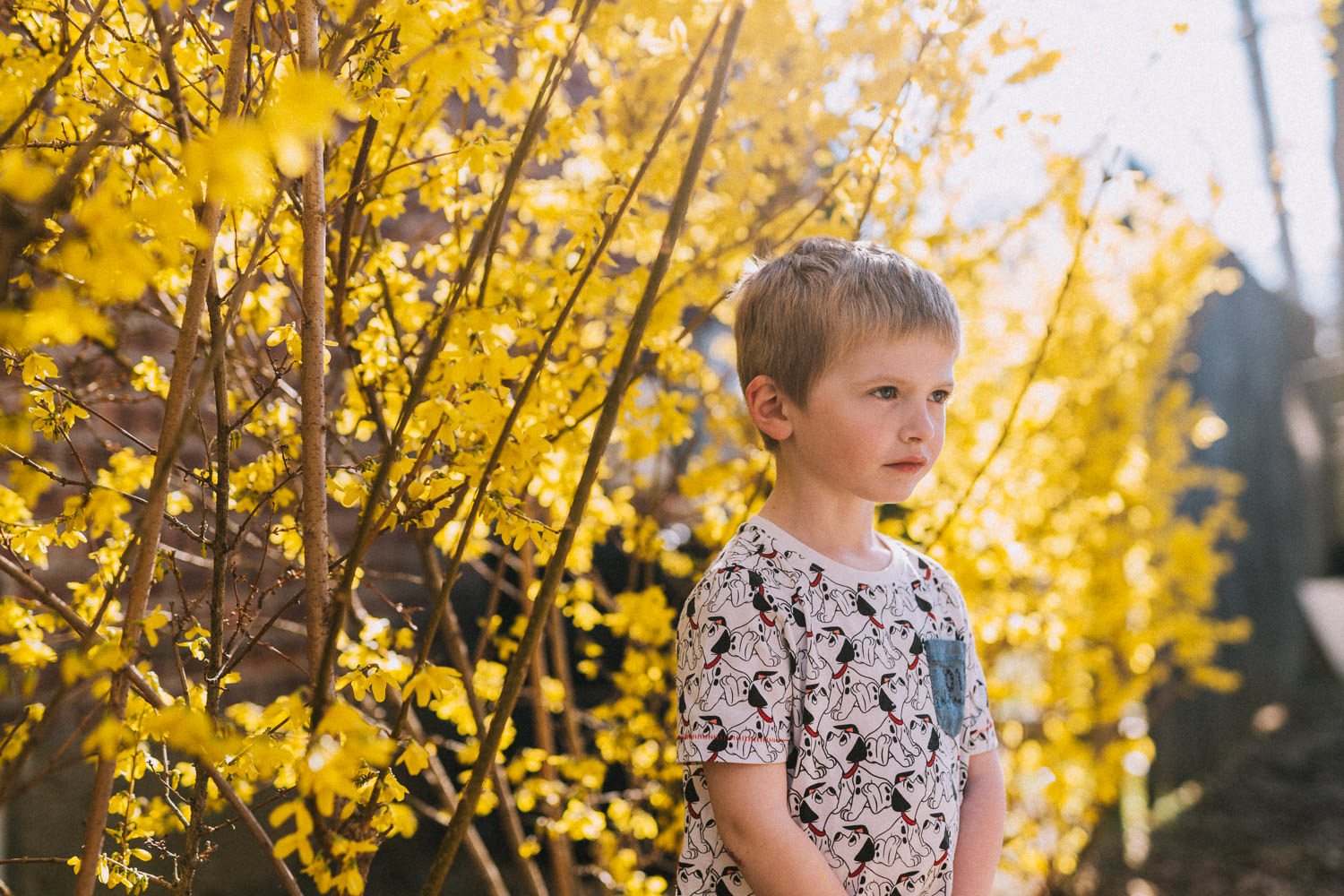 A little boy stands under the forsythia.