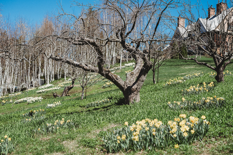 Daffodils at Naumkeag.