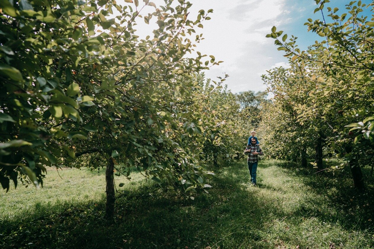 A man walks through an apple orchard with his son on his shoulders.