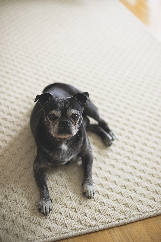 A cute black pug named Bacon
