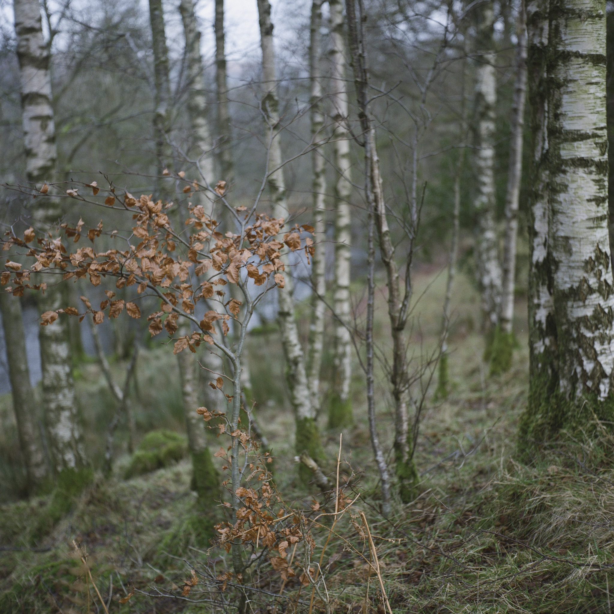 Birches at Rydal 2