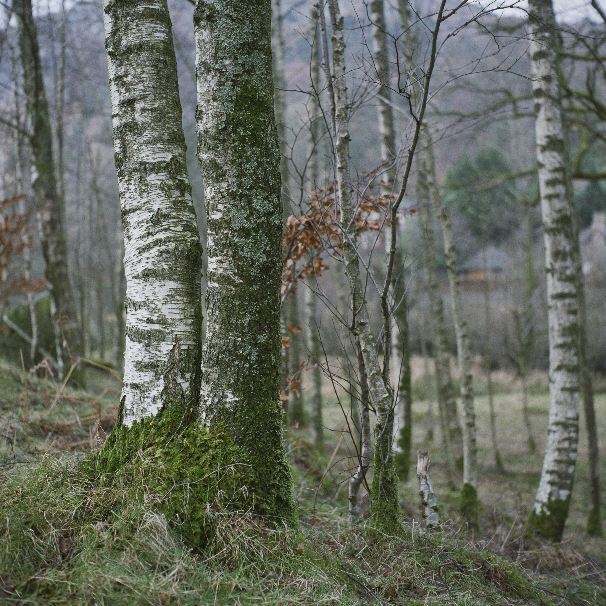 Birches at Rydal