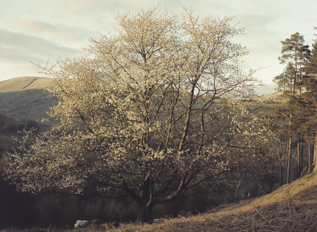 Loveliest of Trees.jpg