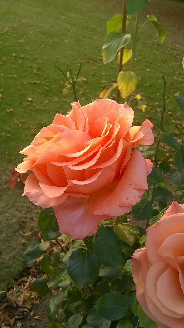 Rose_Angela Corry_B.jpg