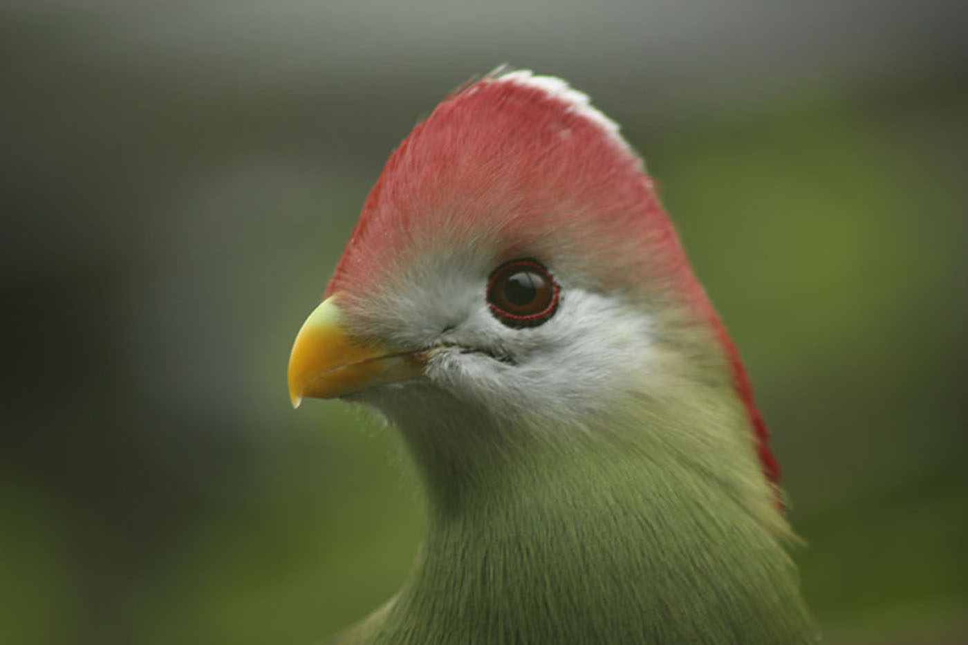 Red-crested Turaco Bird, Ruth Agnew, BPIC, jpeg before.jpg
