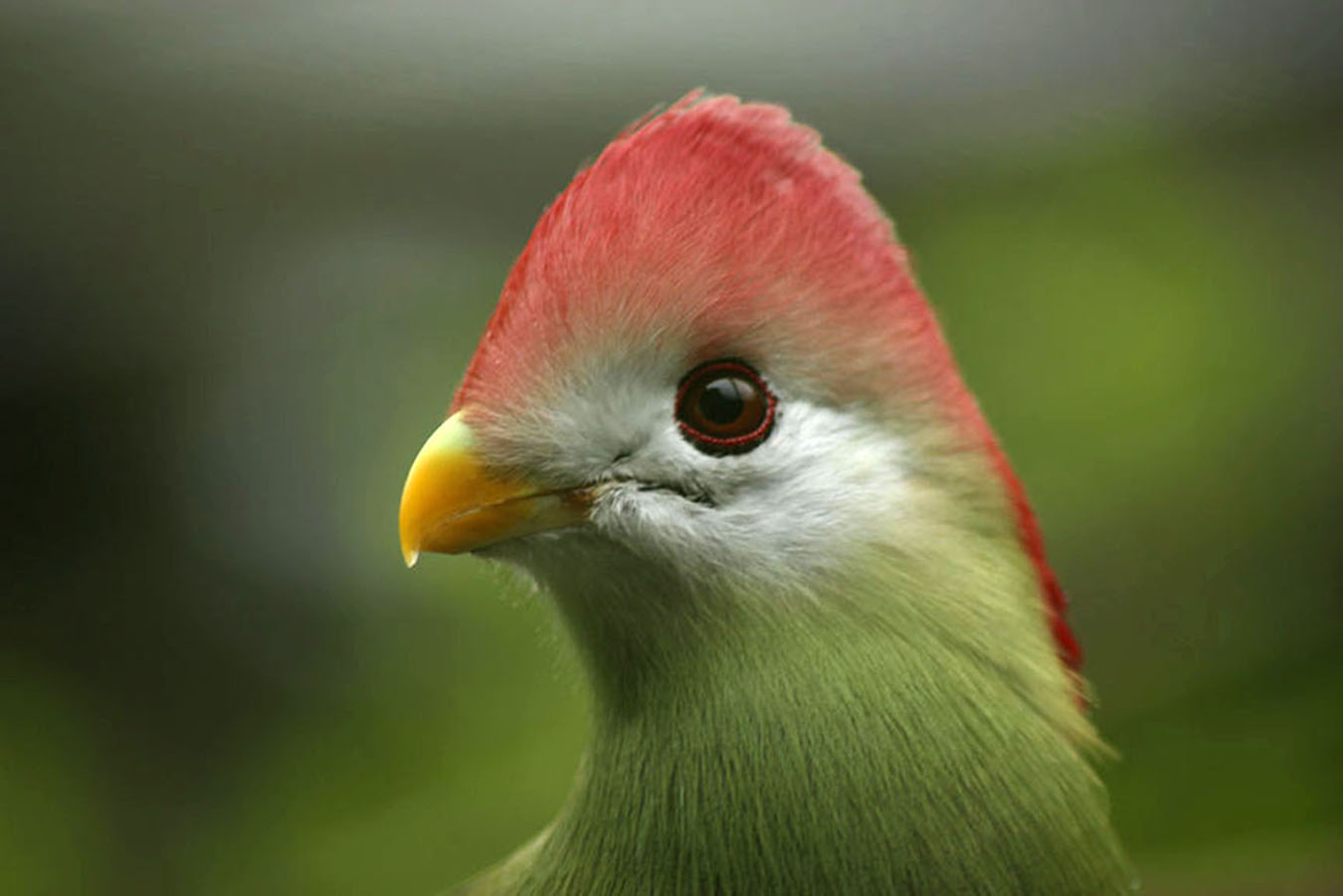 Red-crested Turaco Bird, Ruth Agnew, BPIC.jpg