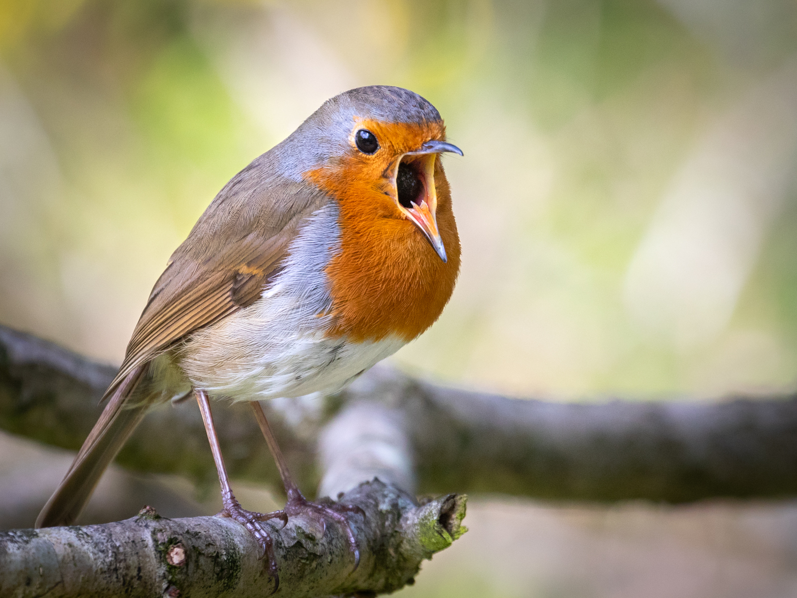Bird Song by Chris Andrews