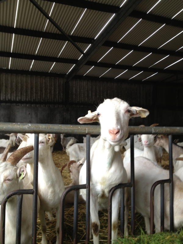 Welcome to St. Tola's Organic Goat Cheese Farm