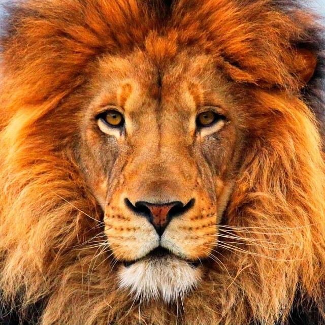 Lion+2.jpg