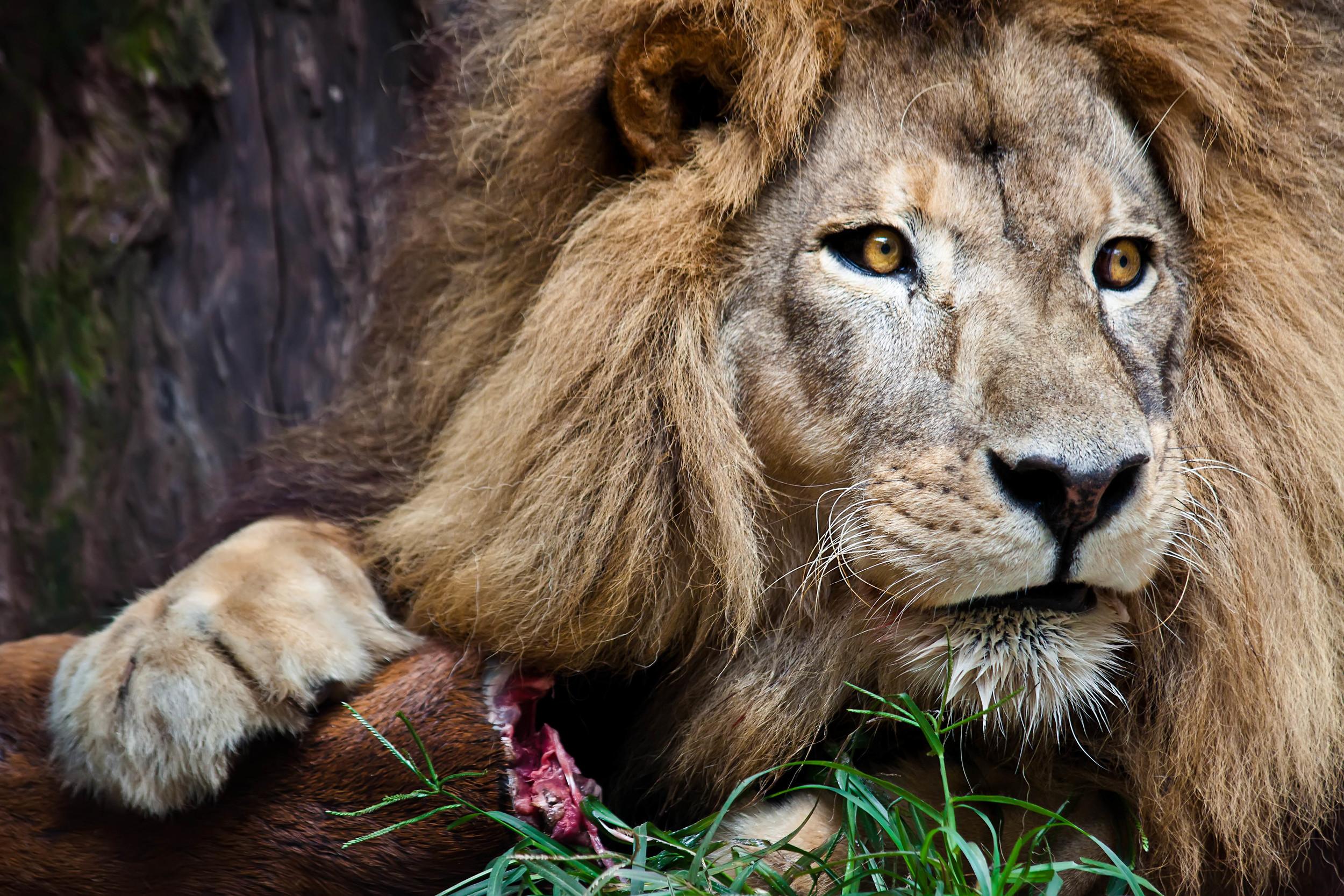 Lions Meal.jpg