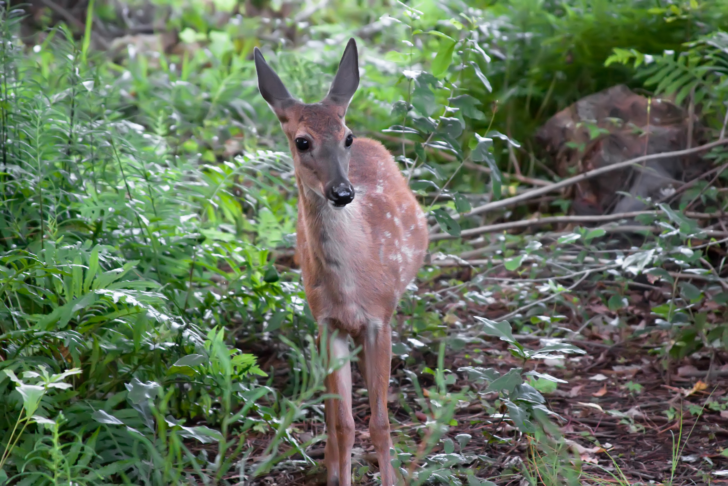 White Tailed Deer Fawn.jpg