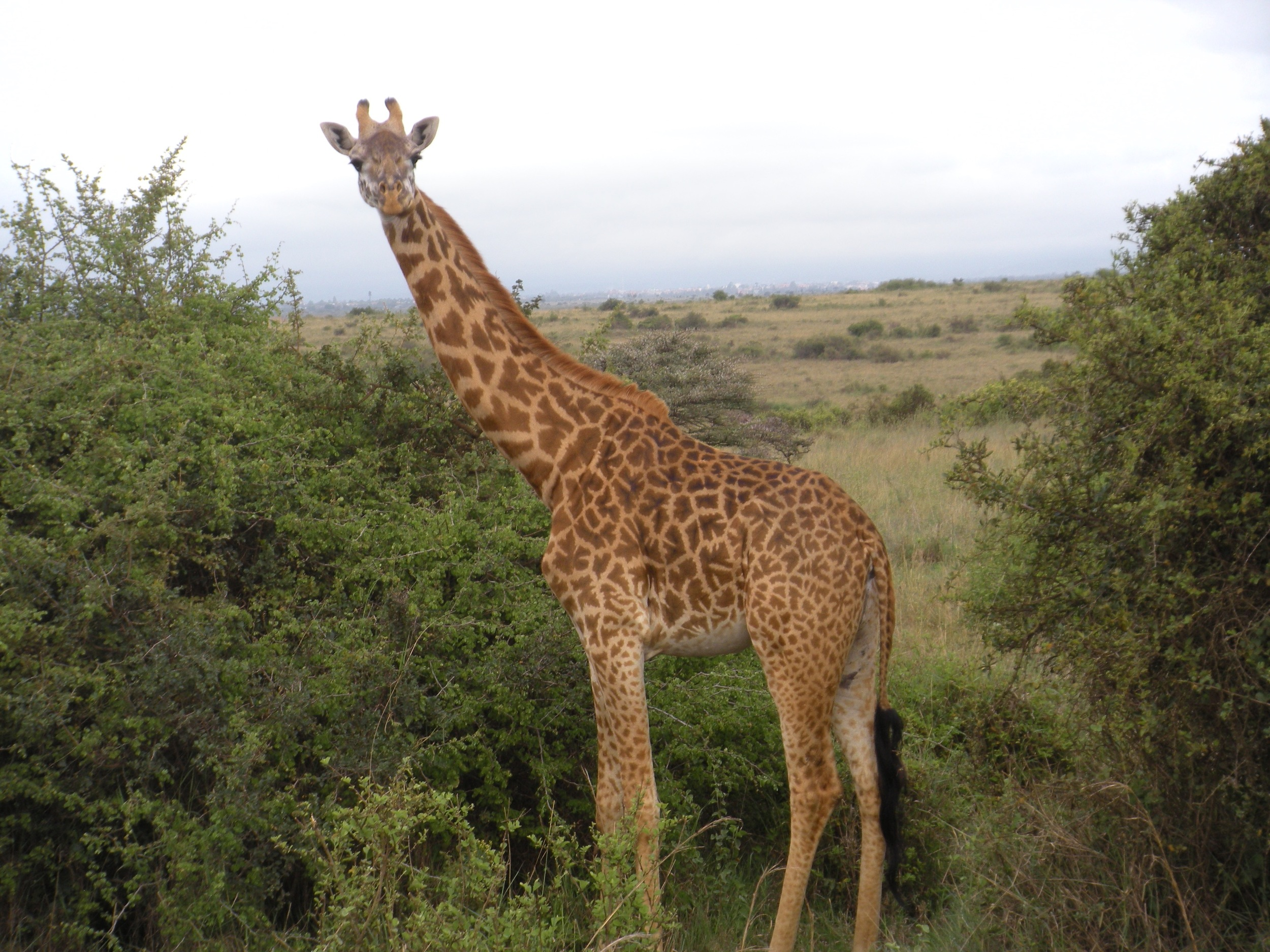 You'll learn even more about the giraffe's in Kenya during our two week trip.