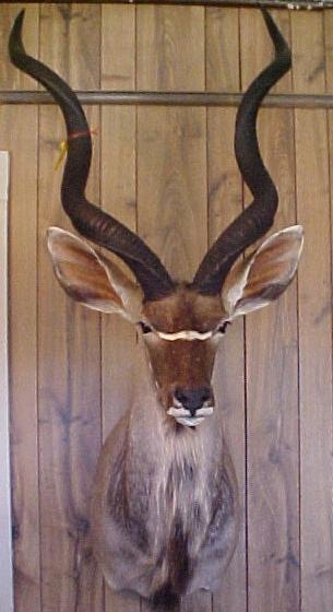kudu.JPG